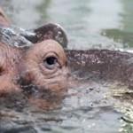 hippopotame-300x182