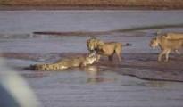 lion crocodile
